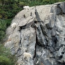 Mountain Goats Outside Keystone